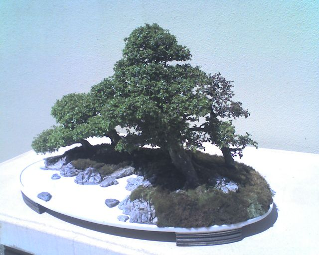 Chinese elm, No. 309